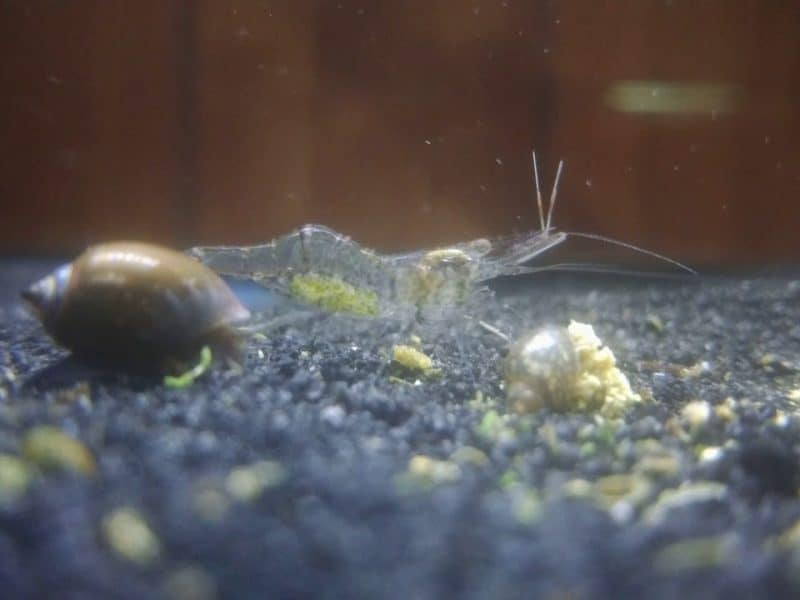 Care for Your Ghost Shrimp Fry