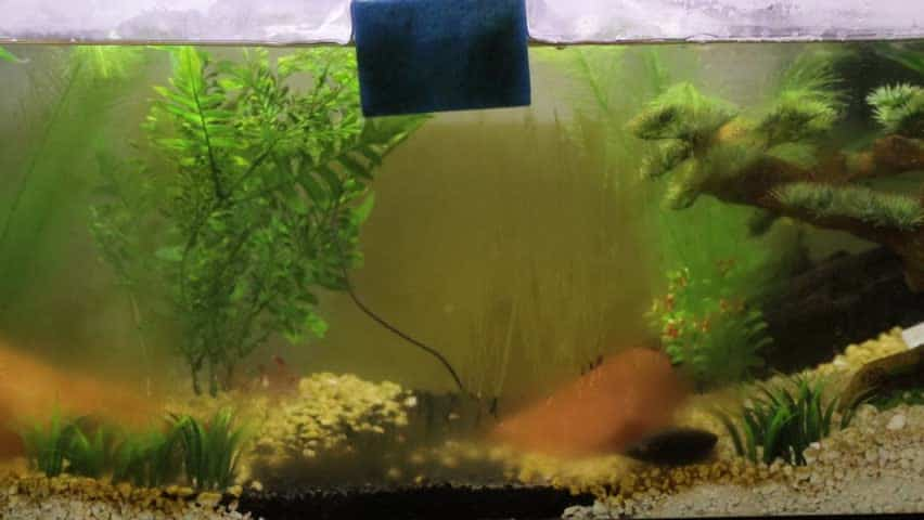 how to remove brown algae