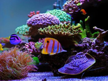 Is Clownfish A Freshwater Or Saltwater Fish