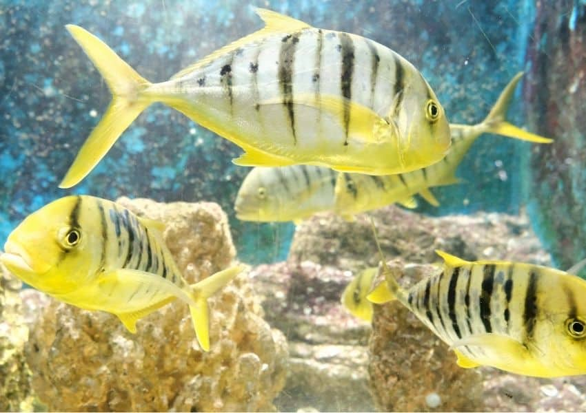 Sea fish surviving in freshwater