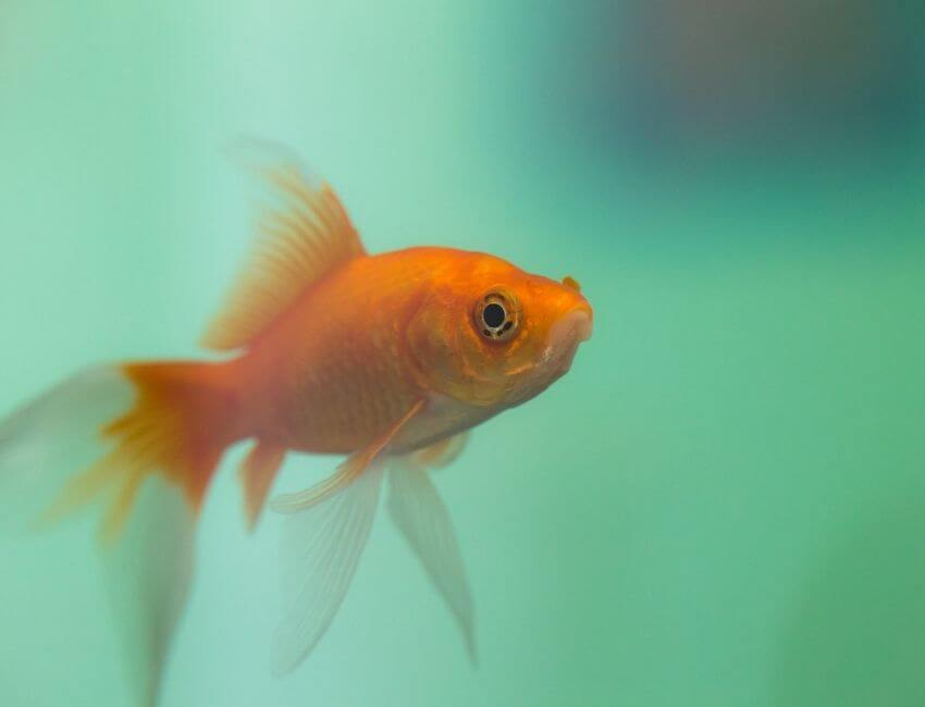 Why your Goldfish don't live long