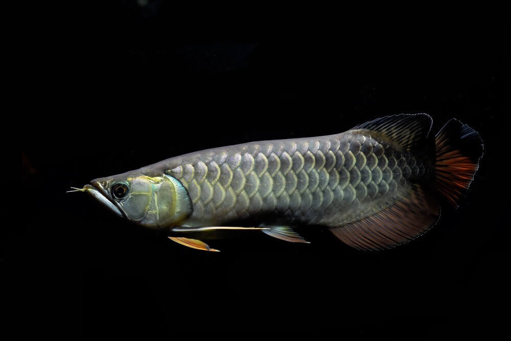 Reasons for the declining numbers of Asian Arowana