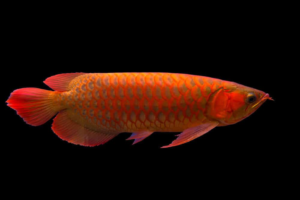 Ways in which people are trying to bring Asian Arowana fish back